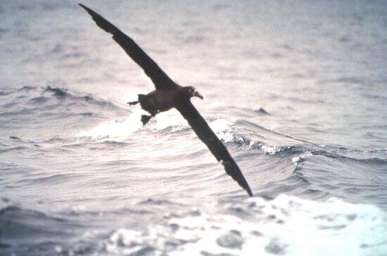 黑色, 脚, 信天翁, 飞行, 鸟