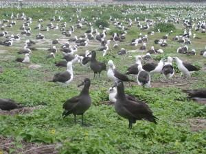 czarny, stąpający, Albatrosy, laysan, Albatrosy