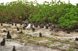 honderden, albatross, kuikens, ontrafeld, vegetatie