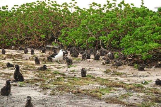 数以百计, 信天翁, 小鸡, 迎刃而解, 植被