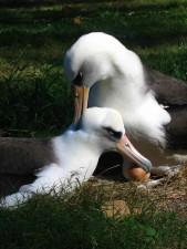 paire, Laysan, albatros, oiseaux, ponte, l'incubation, les oeufs