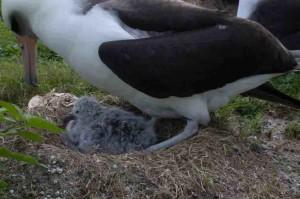 adult, laysan, albatross, brooding, downy, chick