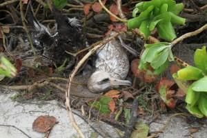 volwassene, laysan Albatros, opgesloten, later, geredde