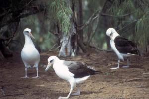 diomedea, immutabilis, albatros, Laysan, oiseaux