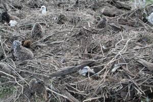 Laysan, albatros, poussins