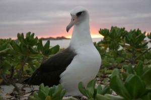 laysan, albatross, sunset