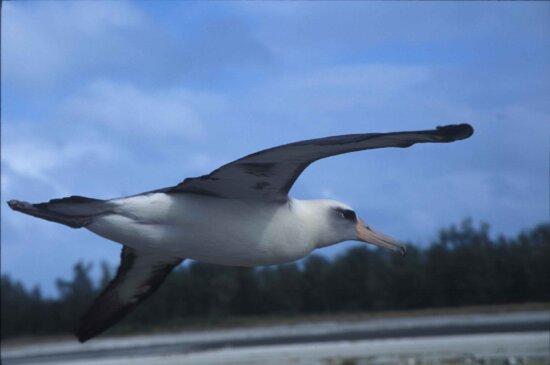 laysan, albatross, bird, flying, phoebastria immutabilis