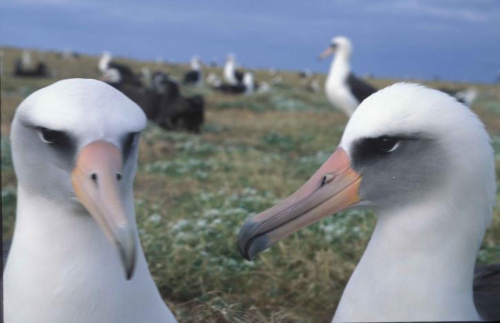 laysan, albatross, birds, colony, phoebastria immutabilis