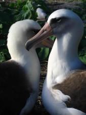 laysanská Albatros, ptáci, kámo, život