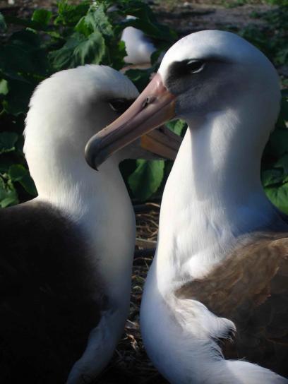 Laysan, albatros, oiseaux, mate, la vie
