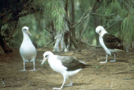 laysan, albatross, birds, ground