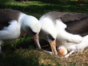 Laysan, albatros, oiseaux, paire, oeuf