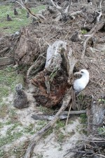 laysan, albatross, chick, adult