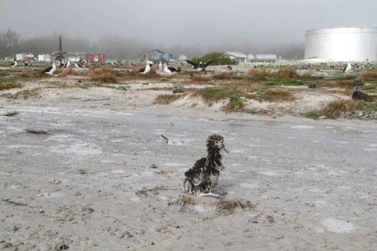 laysan, albatross, chick, survived, washed, tsunami