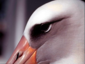 Laysan, albatross, up-close, hoofd, shot