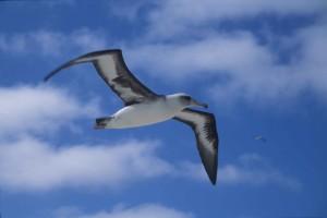 laysan, albatros, fliegen, Luft