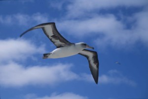 laysan, Albatros, letenje, klima
