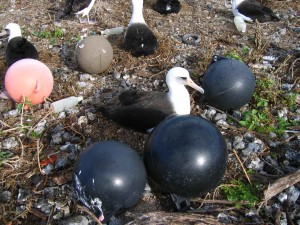 laysan, Albatros, gniježđenje, marinac, krhotine