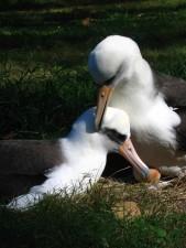Laysan, albatros, paire, oiseaux