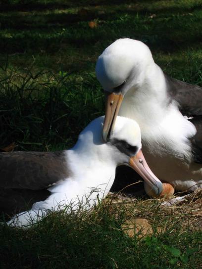 laysan, albatroz, par, pássaros