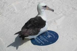 laysan, Albatros, odmaranje, utočište, kapsula
