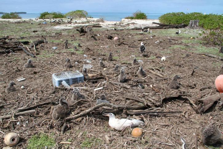 laysan, Albatros, gniježđenje, otok