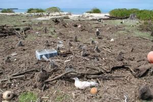 laysan, albatros, pegado, escombros, isla