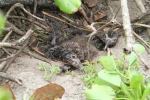 two, laysan, albatross, chicks, buried, sand, vegetation, tsunami, wave