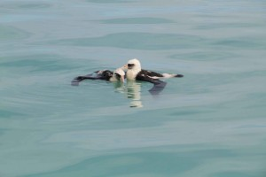 two, exhausted, laysan, albatross, washed, lagoon