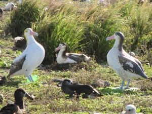 Phoebastria albatrus, vogels, nesten, gebied
