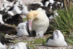 pasăre, scurt coada, Albatros, tipa, cuib, sol