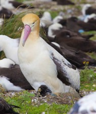 male, short tailed, albatross, bird, chick, phoebastria albatrus