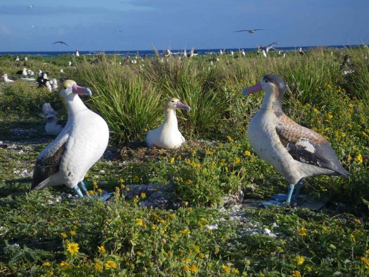 male, short tailed, albatross, incubating, egg, nest, phoebastria albatrus