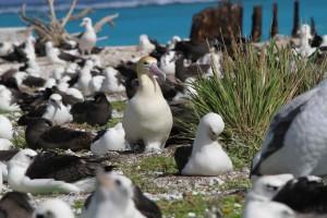 nesting, short tailed, albatross, birds, ground