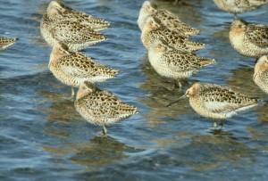 short billed, dowitcher, flock, shoreline, limnodromus, griseus, dowitcher, shorebird