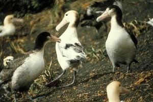 หางสั้น อัลบาทรอส นก diomedea albatrus