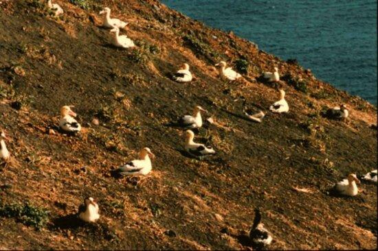 short tailed, albatross, birds, nest, ground, rock, landscape