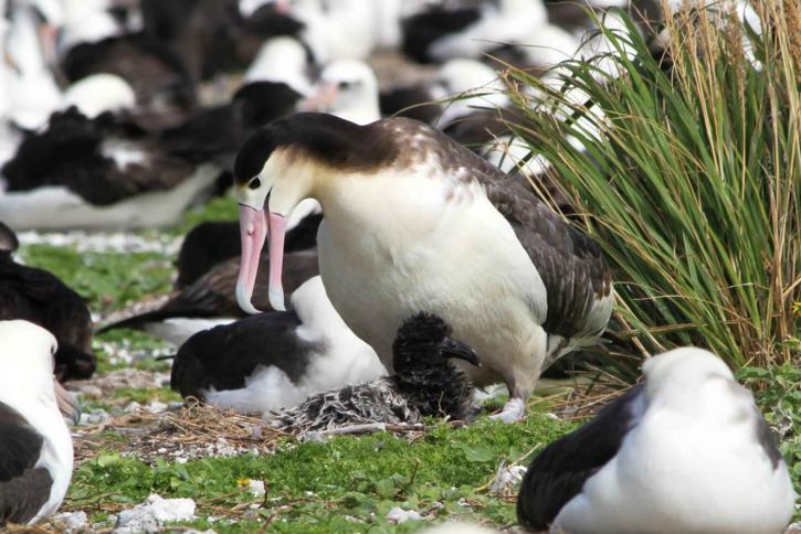 ขาสั้นหาง อัลบาทรอส นก phoebastria albatrus
