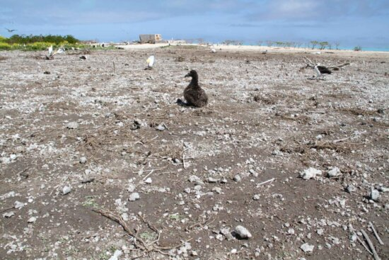 short tailed, albatross, chick, displaced, survives