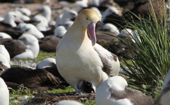 short tailed, albatross, chick, hatches