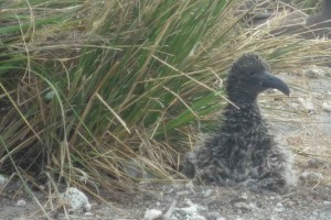 short tailed, albatross, chick, survives, major, storm