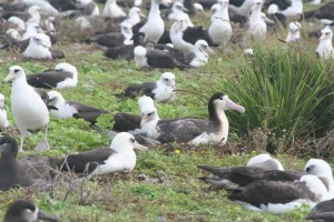 Albatros coada, scurt, perioada de incubaţie, ou