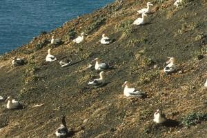 korte staart, albatross, nesten