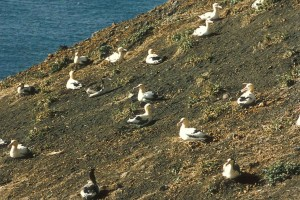 kratkog kraka, Albatros, gnijezde