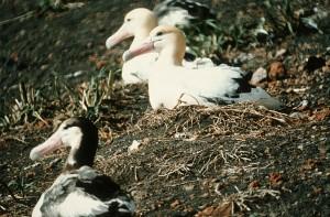korte staart, albatross, nesten, diomedea albatrus