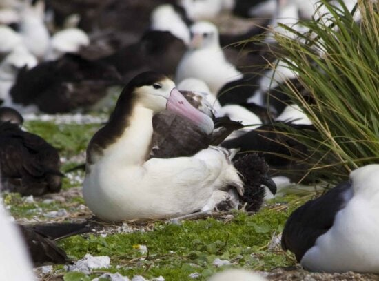 short tailed, albatross, chick, phoebastria albatrus, bird, albatross, seabird, duck
