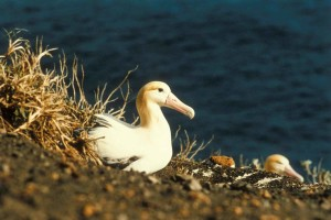 short tailed, albatross, nest, diomedea, albatrus