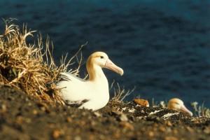 korte staart, albatross, nest, diomedea albatrus