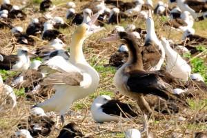 courte queue, albatros, paire, collage, danse