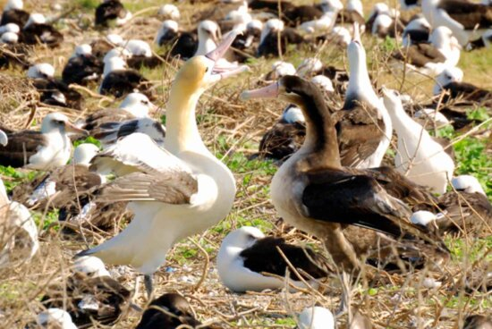 short tailed, albatross, pair, bonding, dance